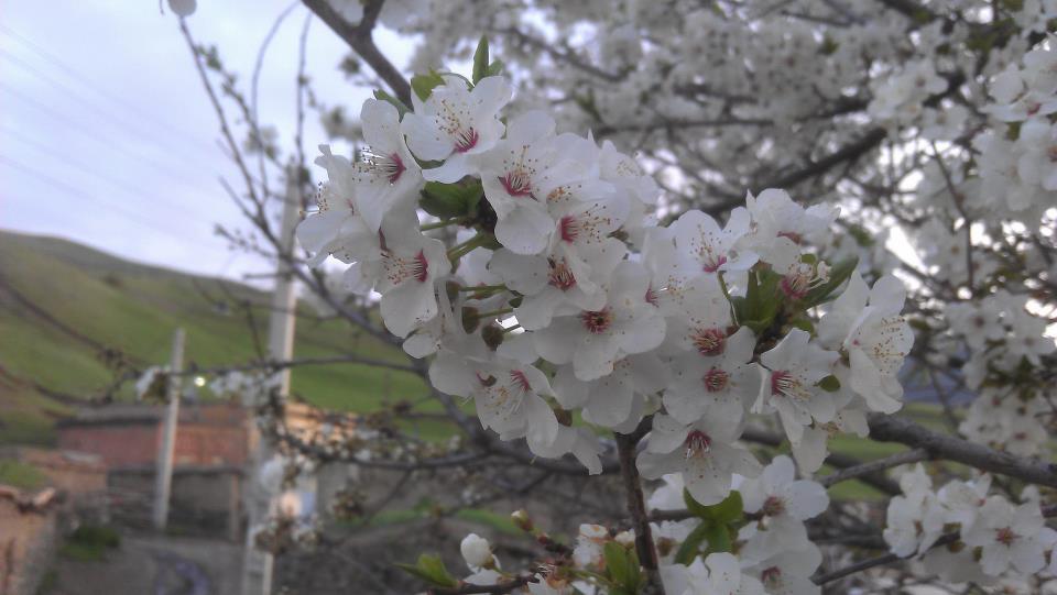 شکوفه های  درختان خان کندی در فصل بهار