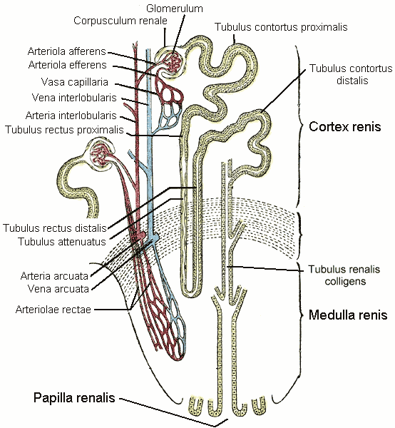 Distal Convoluted Tubule Wikipedia