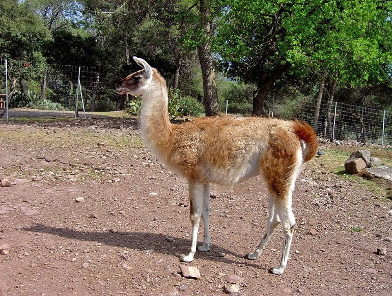 http://upload.wikimedia.org/wikipedia/commons/2/21/Lama2.jpg