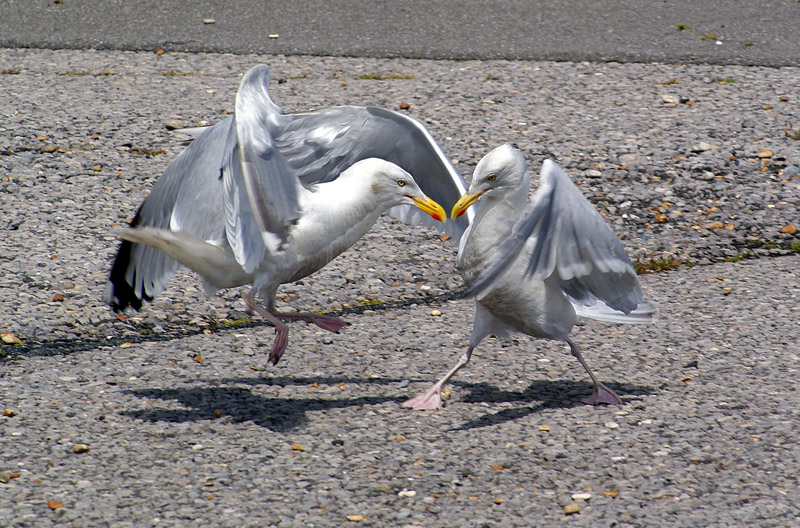 Larus argentatus - two adults fighting 1