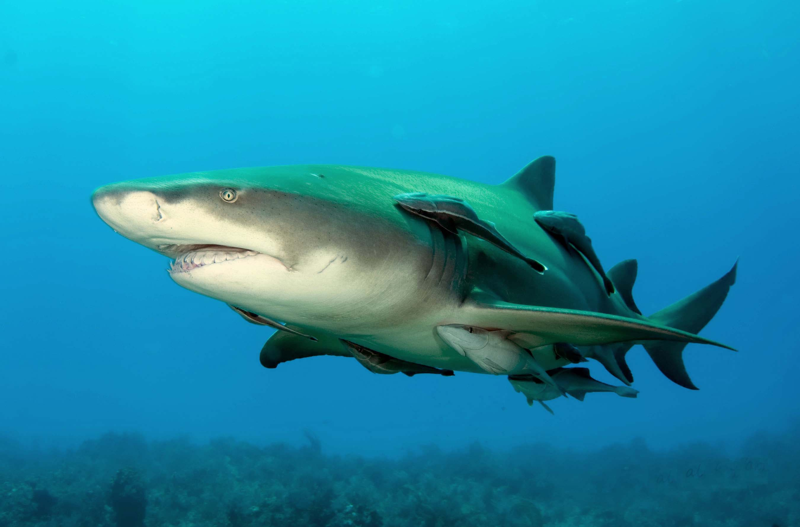 lemon shark wikipedia