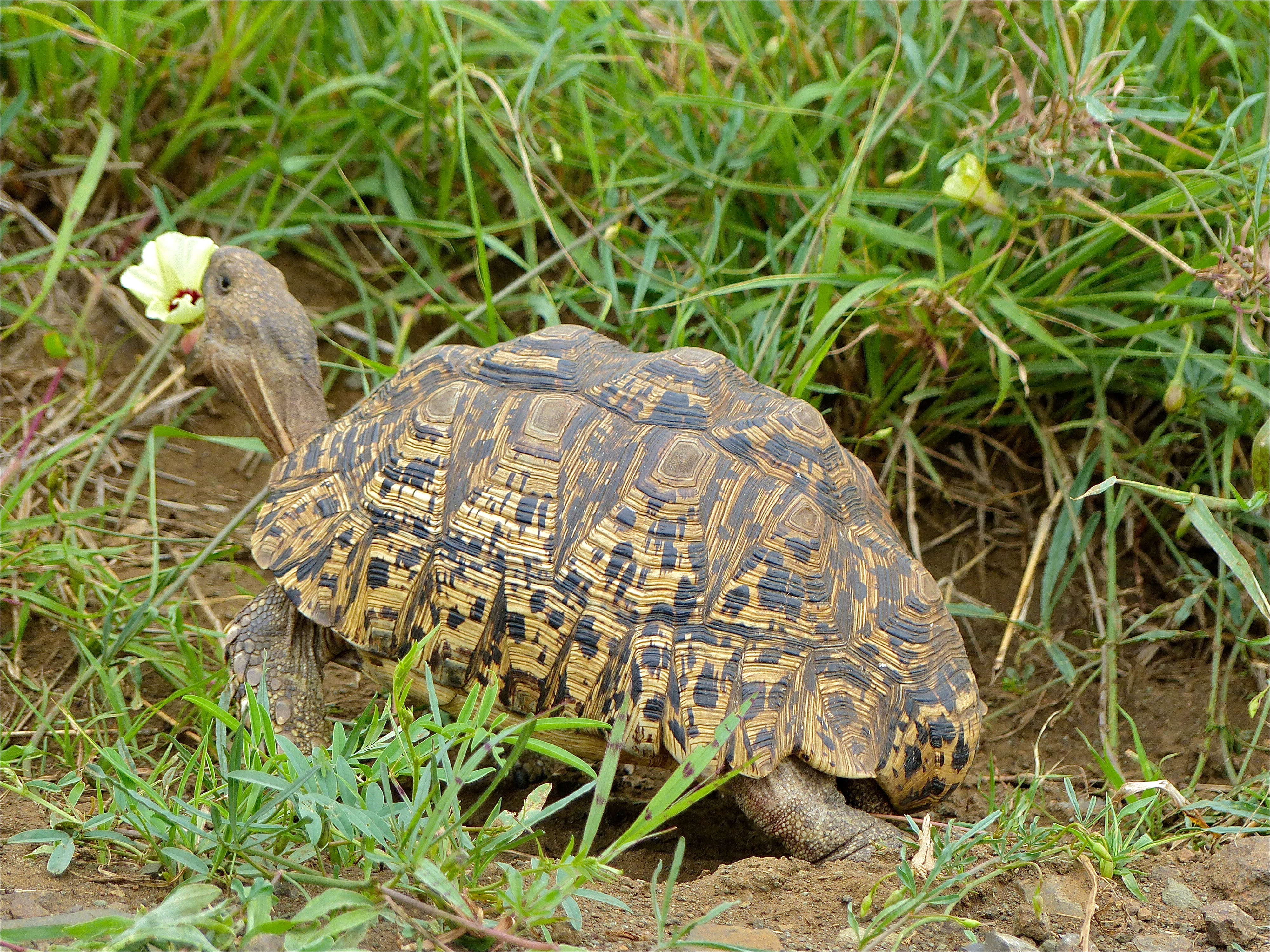 Fileleopard Tortoise Stigmochelys Pardalis Eating Hibiscus Flower