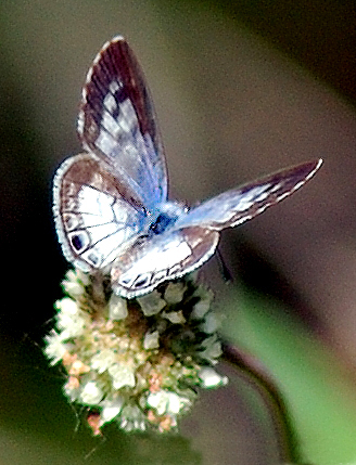 By leppyone (Cassius Blue) [CC BY 2.0 (http://creativecommons.org/licenses/by/2.0)], via Wikimedia Commons
