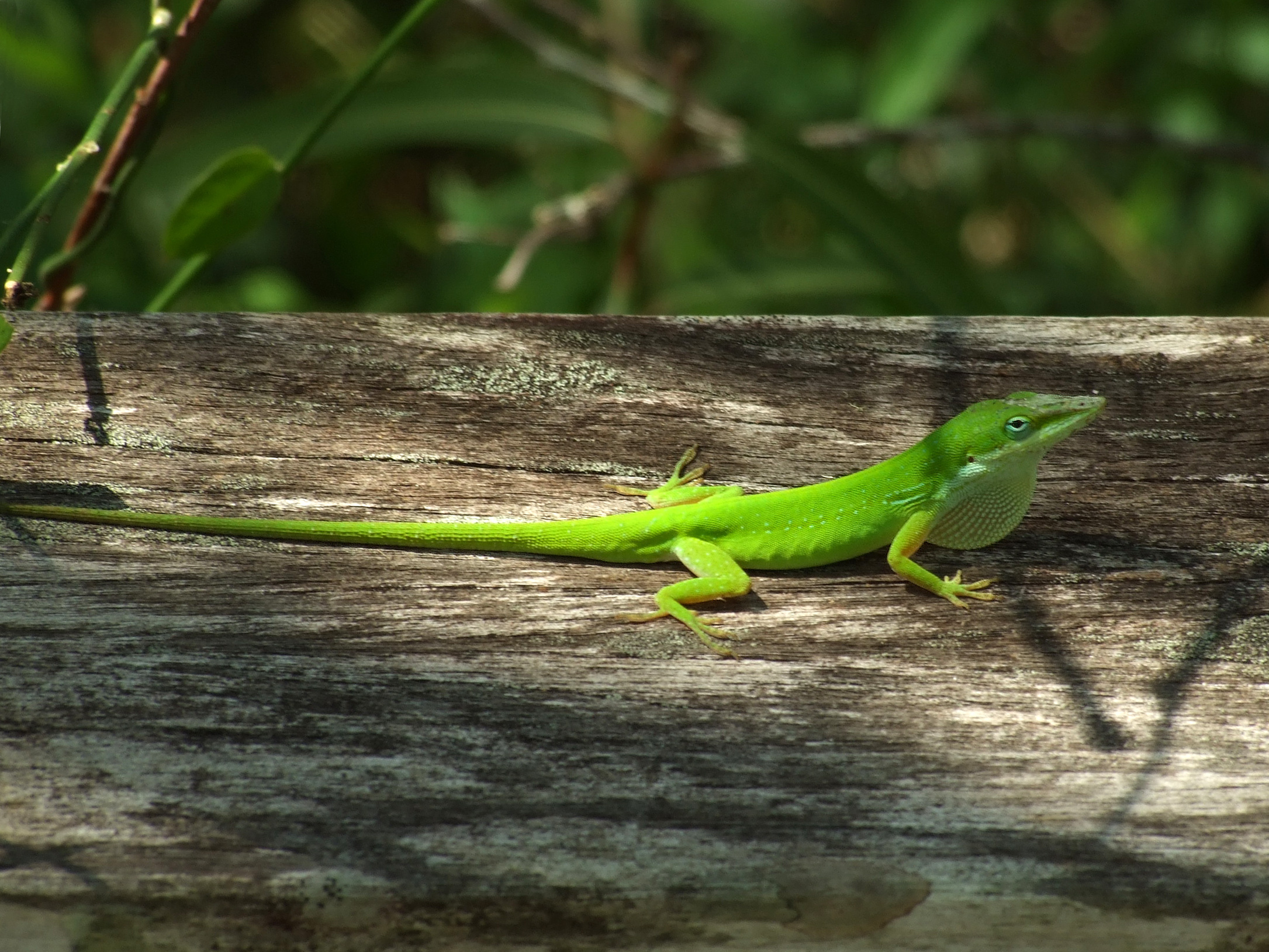 how to catch an anole