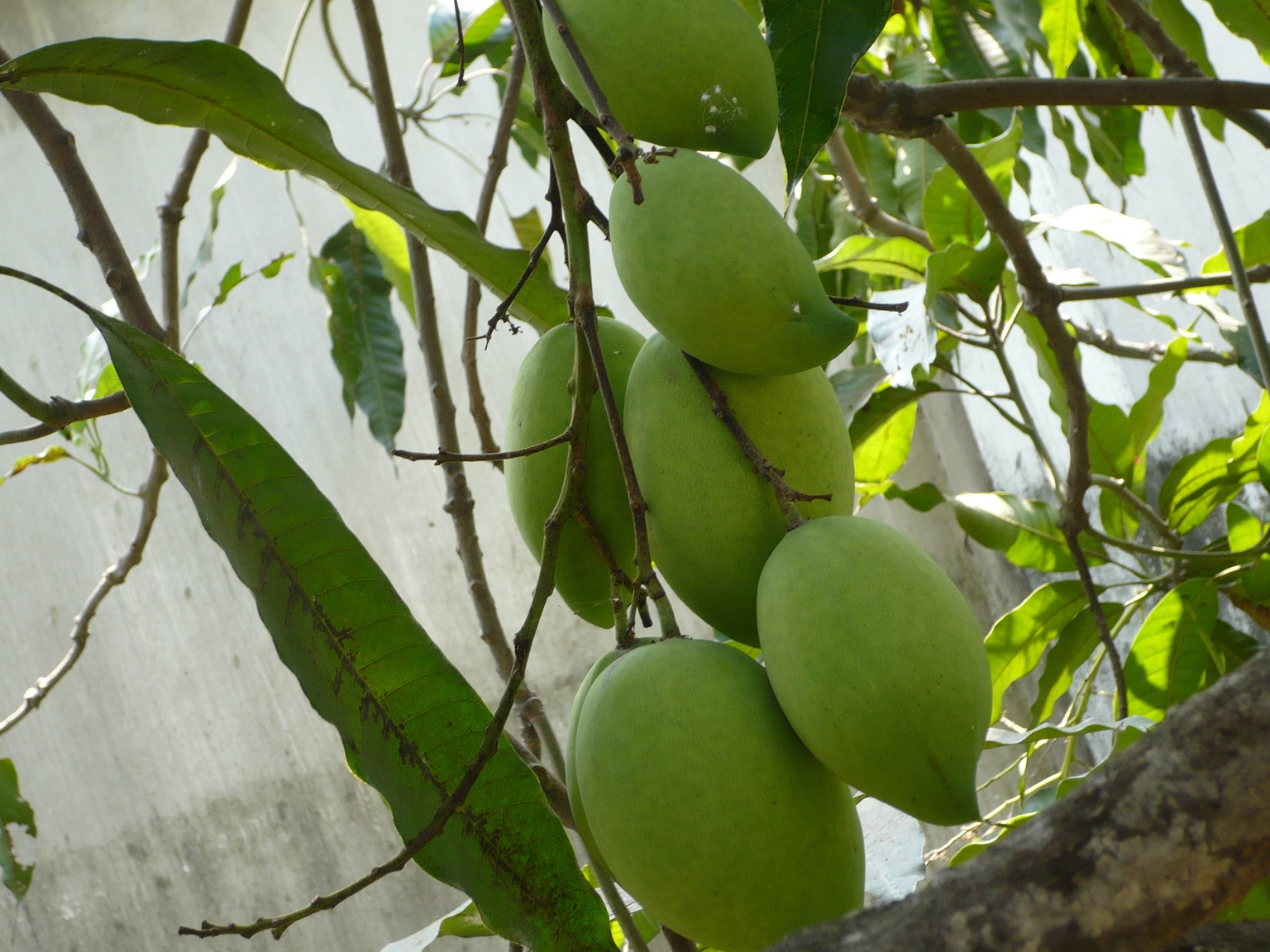 mangifera indica l Effects of different plant leaf extracts on postharvest life and quality of mango (mangifera indica l) ( vol-3,issue-2,march - april 2018) author: s shrestha, b pandey, bp mishra.