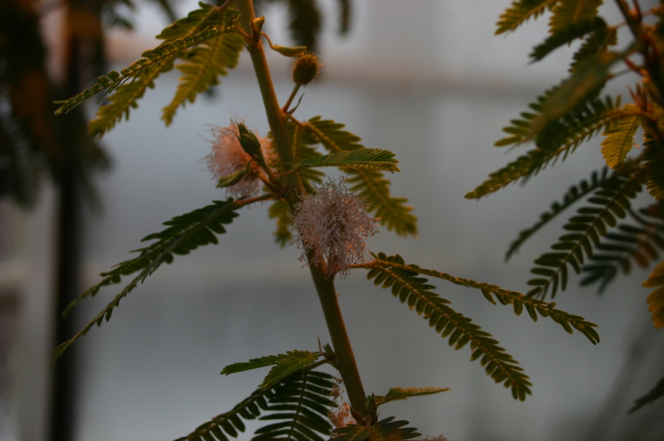 Mimosa polycarpa