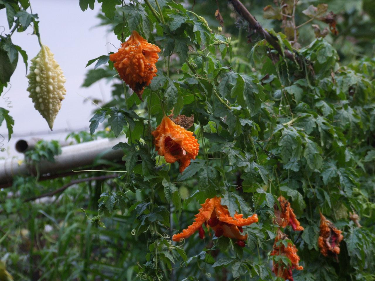 Как вырастить момордику из семян в домашних условиях