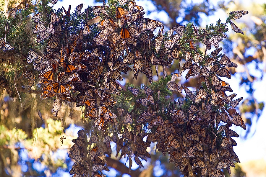 Image result for monarch butterfly sanctuary