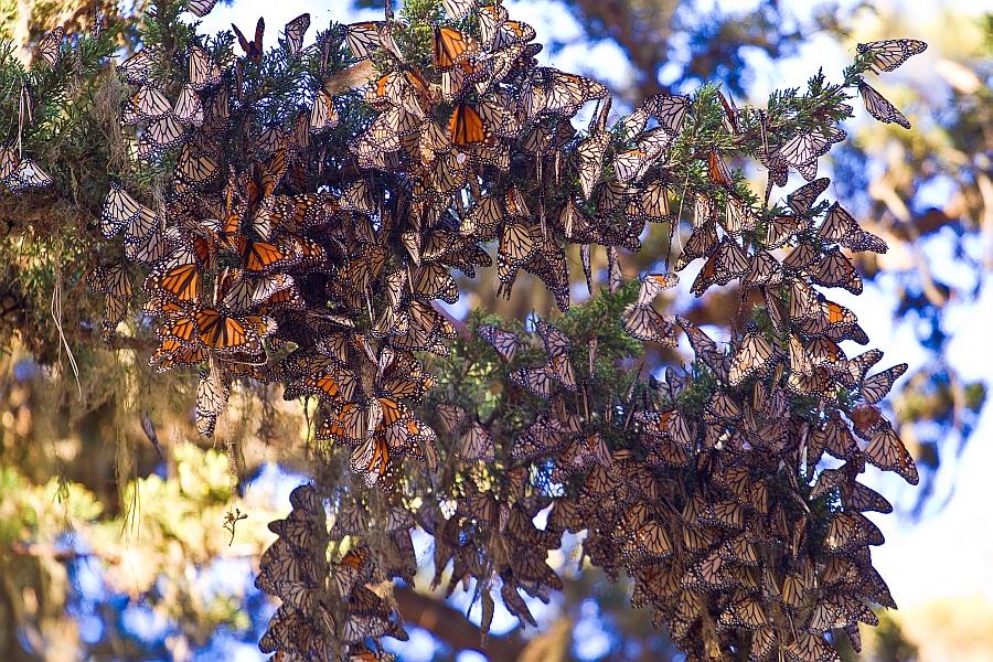 File Monarch Butterflies Pacific Grove Jpg Wikimedia Commons