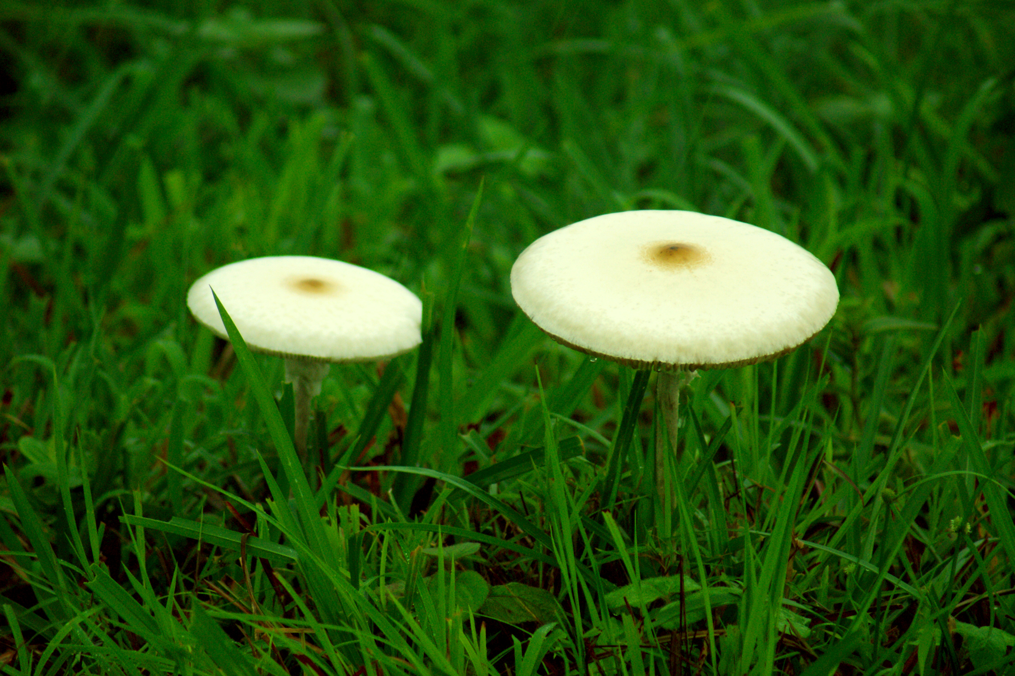Mushrooms on grassland in Gavi
