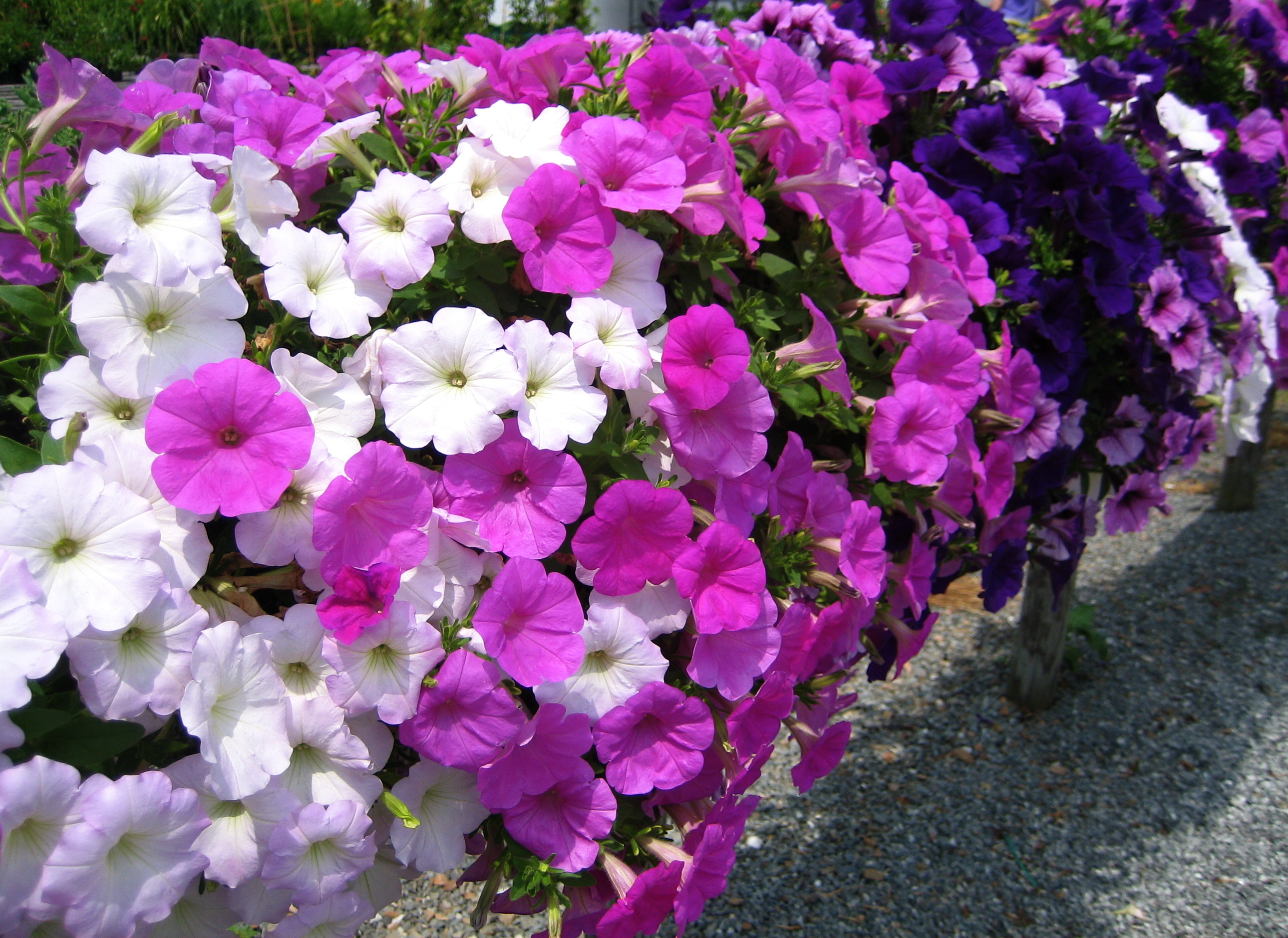 File petunia wikimedia commons for Petunie inverno