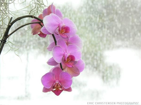 File:Pink orchid.JPG