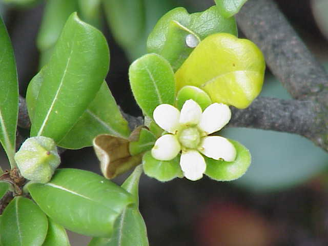 Tập tin:Pittosporum tobira1.jpg