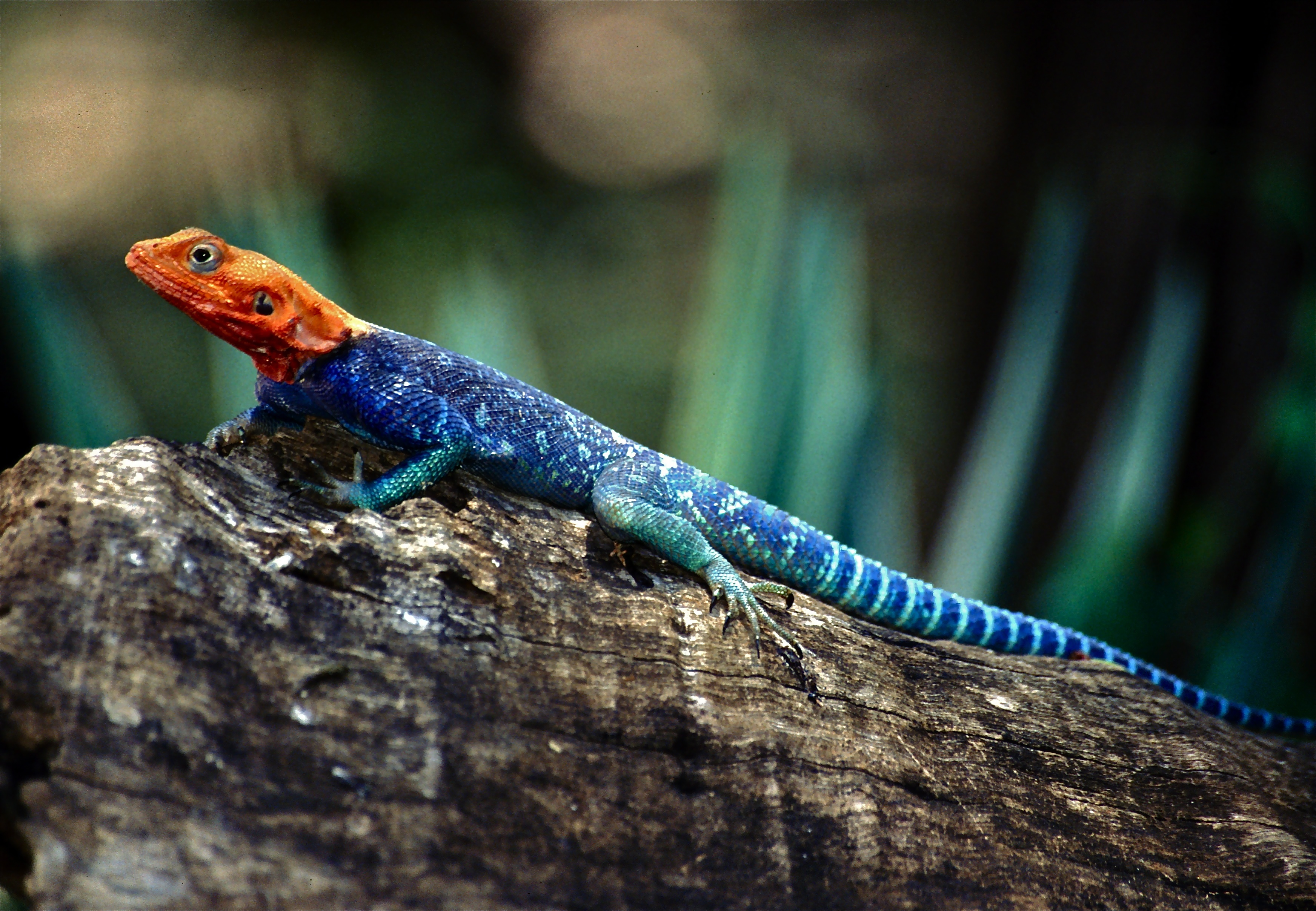 Image result for Red-headed Rock Agama (Agama agama)
