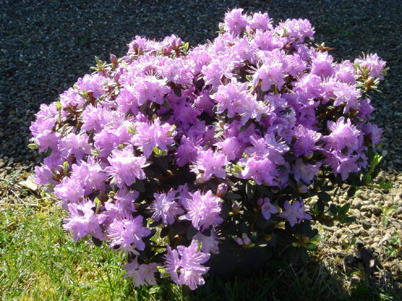 File:Rhododendron impeditum 6.JPG - Wikimedia Commons
