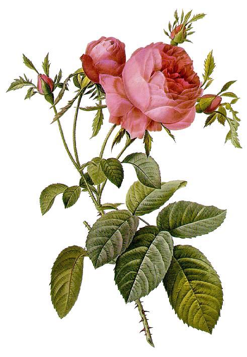http://upload.wikimedia.org/wikipedia/commons/2/21/Rosa_centifolia_foliacea_17.jpg