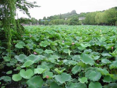 Shinobazu-ike tokyo lotusbloemen.JPG