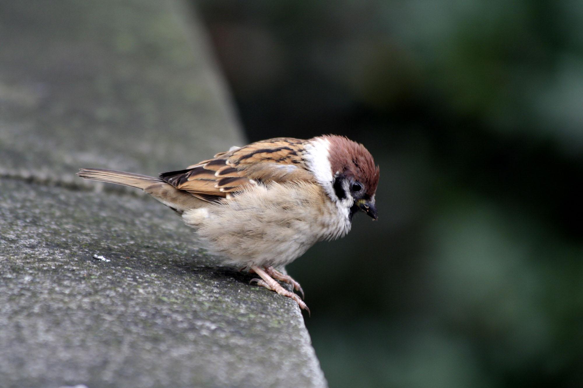 File Small Bird In Meiji Wikimedia Commons