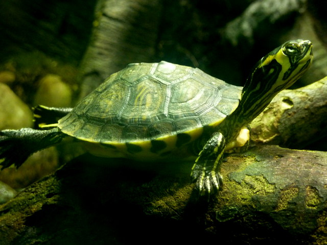File:Small turtle in the aquarium under the Palm House, Kew Gardens ...