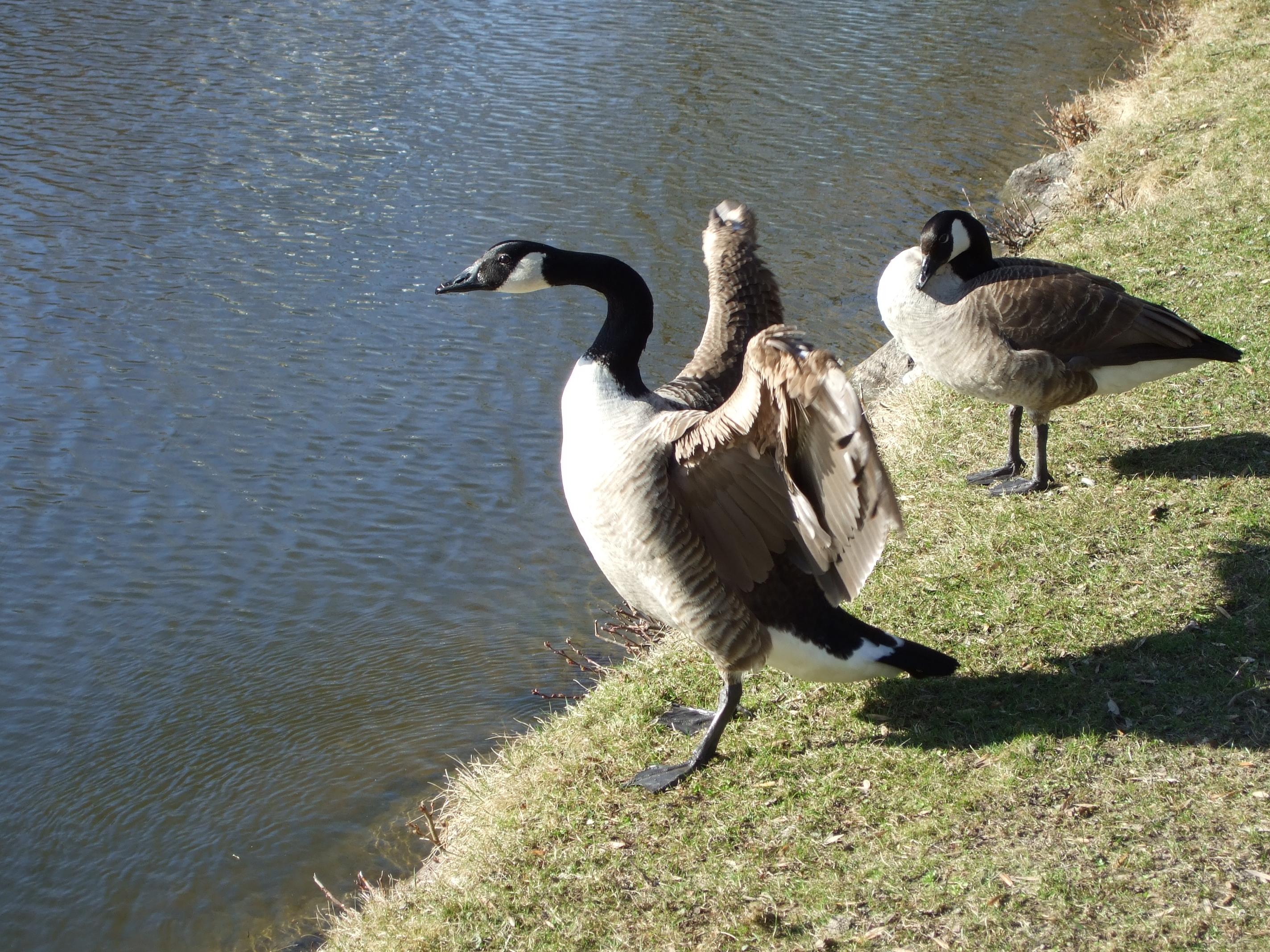 Description standing canada goose jpg