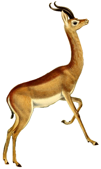 Soubor:The book of antelopes (1894) Lithocranius walleri (white background).png