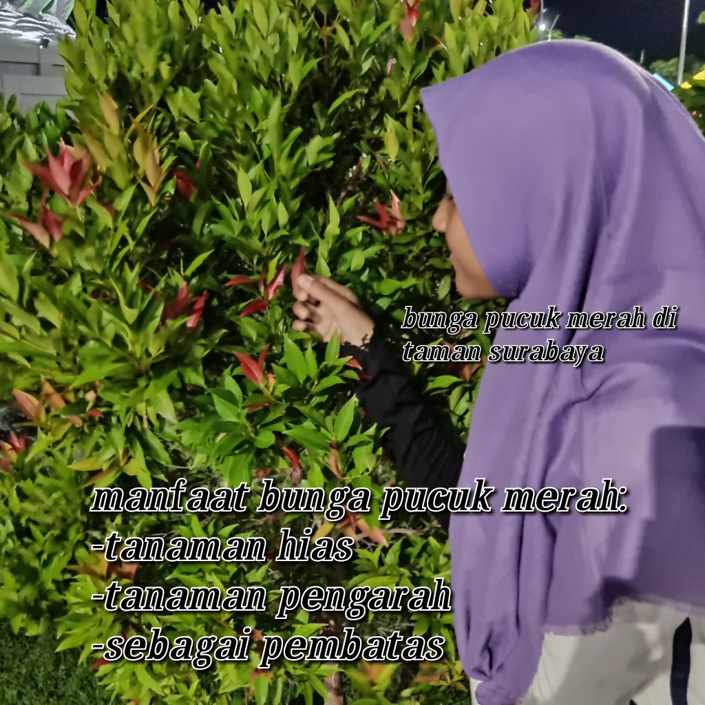 File:Tumbuhan pucuk merah di taman surabaya.jpg