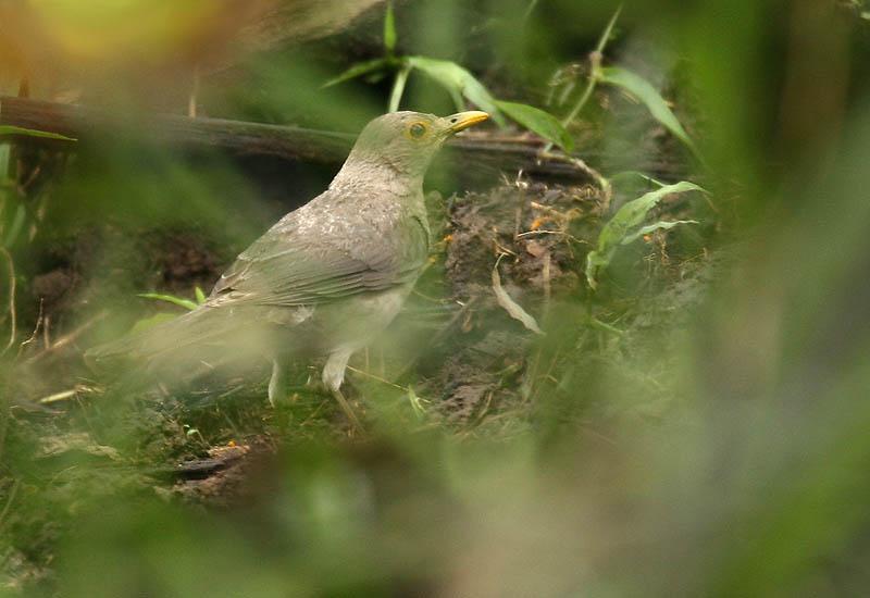 File:Turdus maculirostris -NW Ecuador-6.jpg