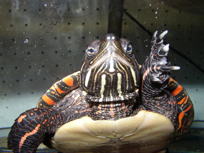 US BLM painted turtle picta pic.jpg