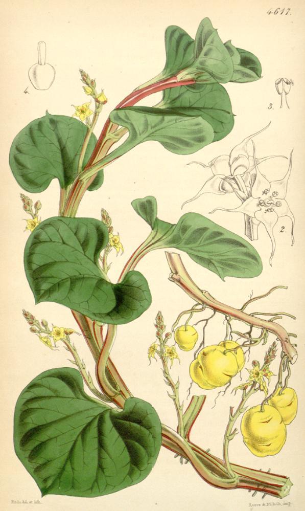 Depiction of Ullucus tuberosus