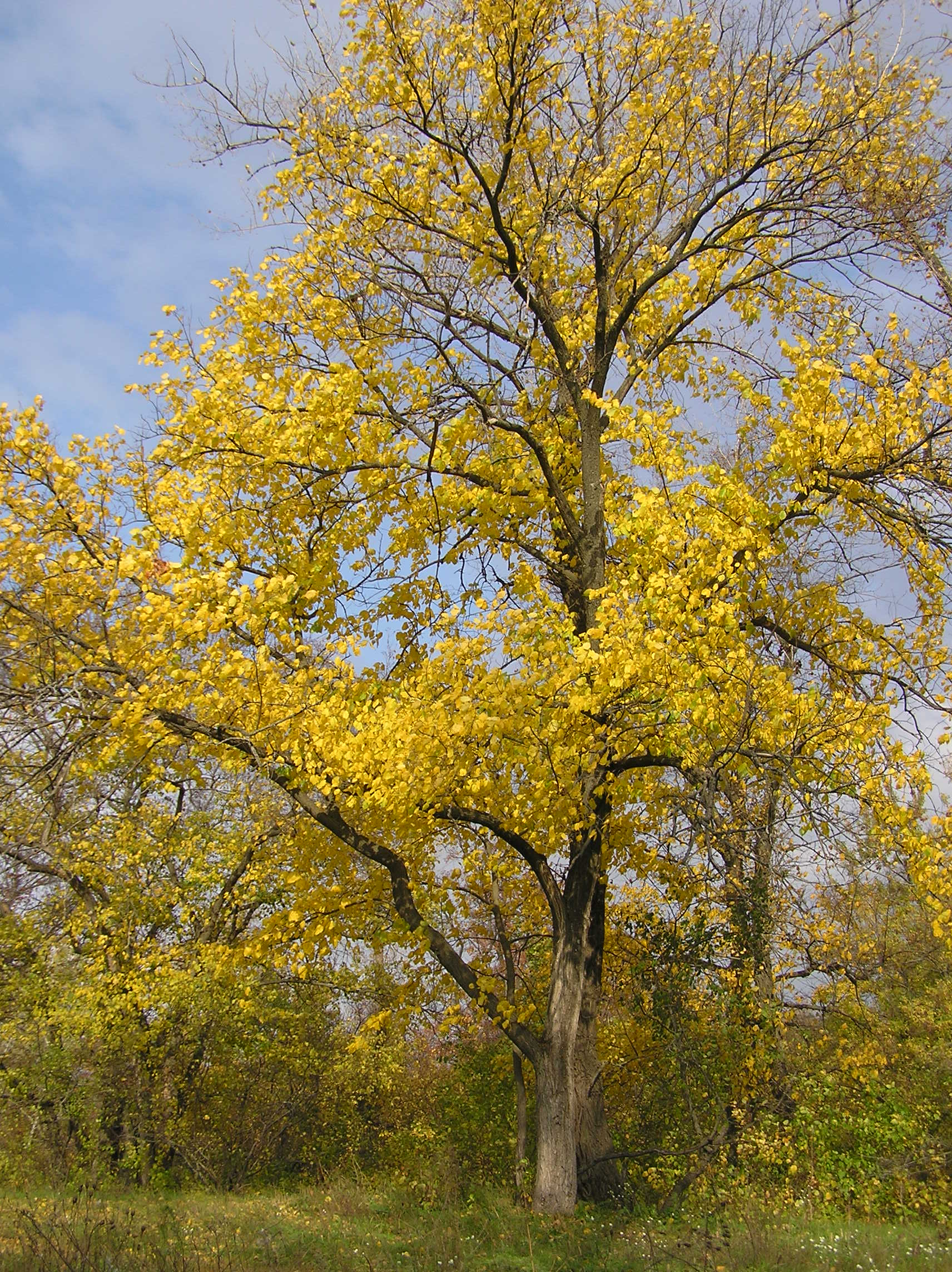 Preciosa imagen de un Ulmus laevis en otoño.