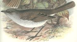 Olomaʻo species of bird