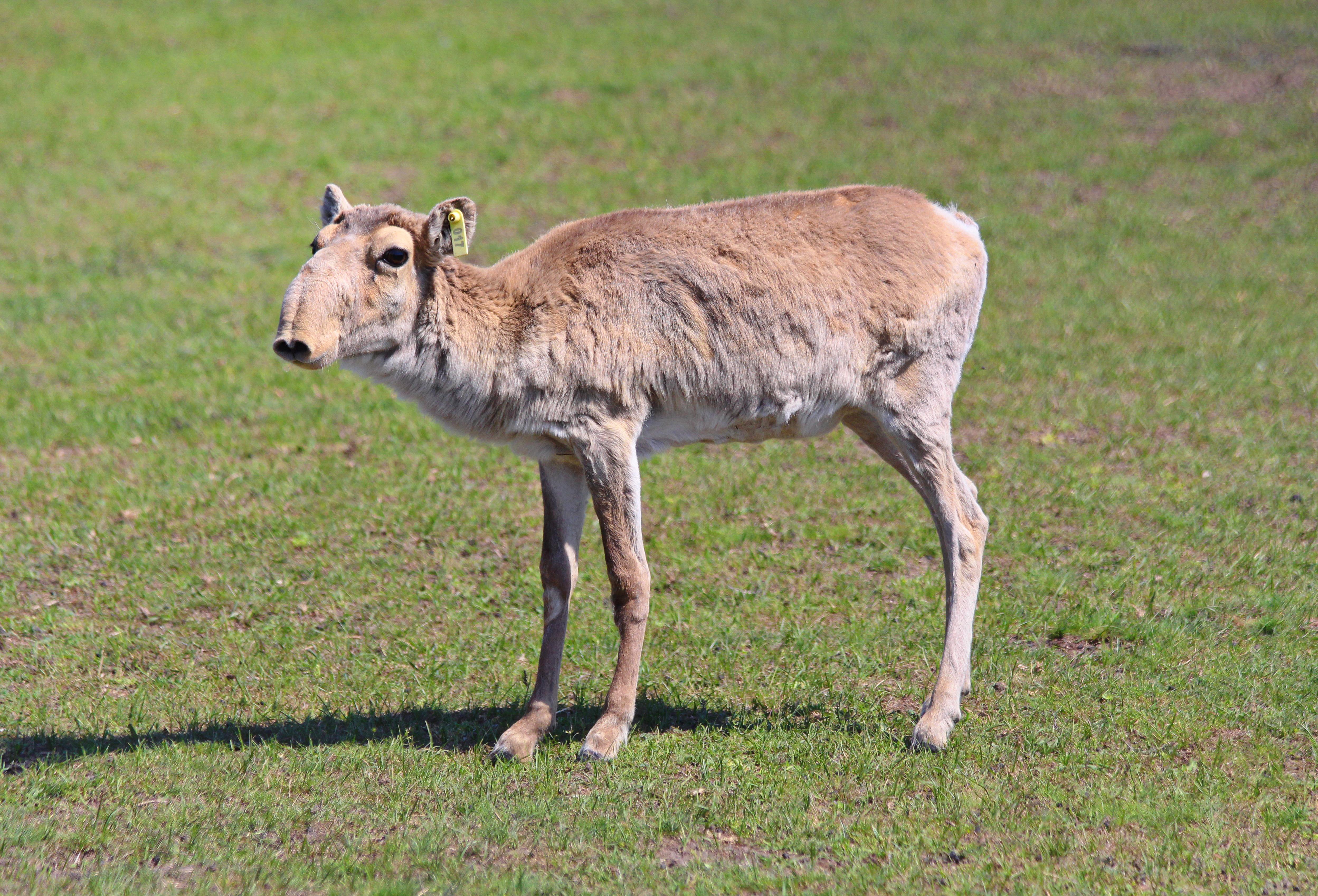 Mortalité massive d'antilopes saïga au Kazakhstan 1