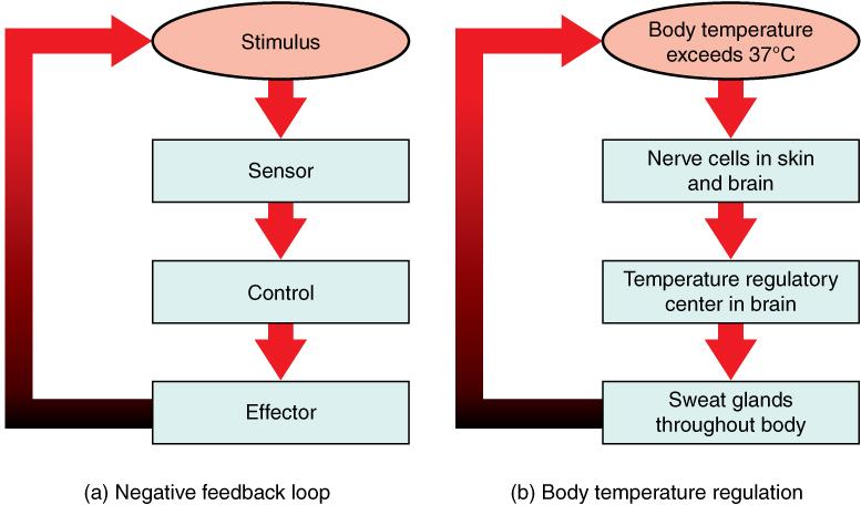 Continuous Feedback Loop Feedback Loops in The Human