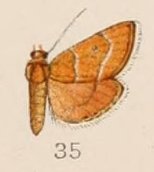 Cybalomiinae subfamily of insects