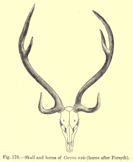 File6 Antlers Axisg Wikimedia Commons