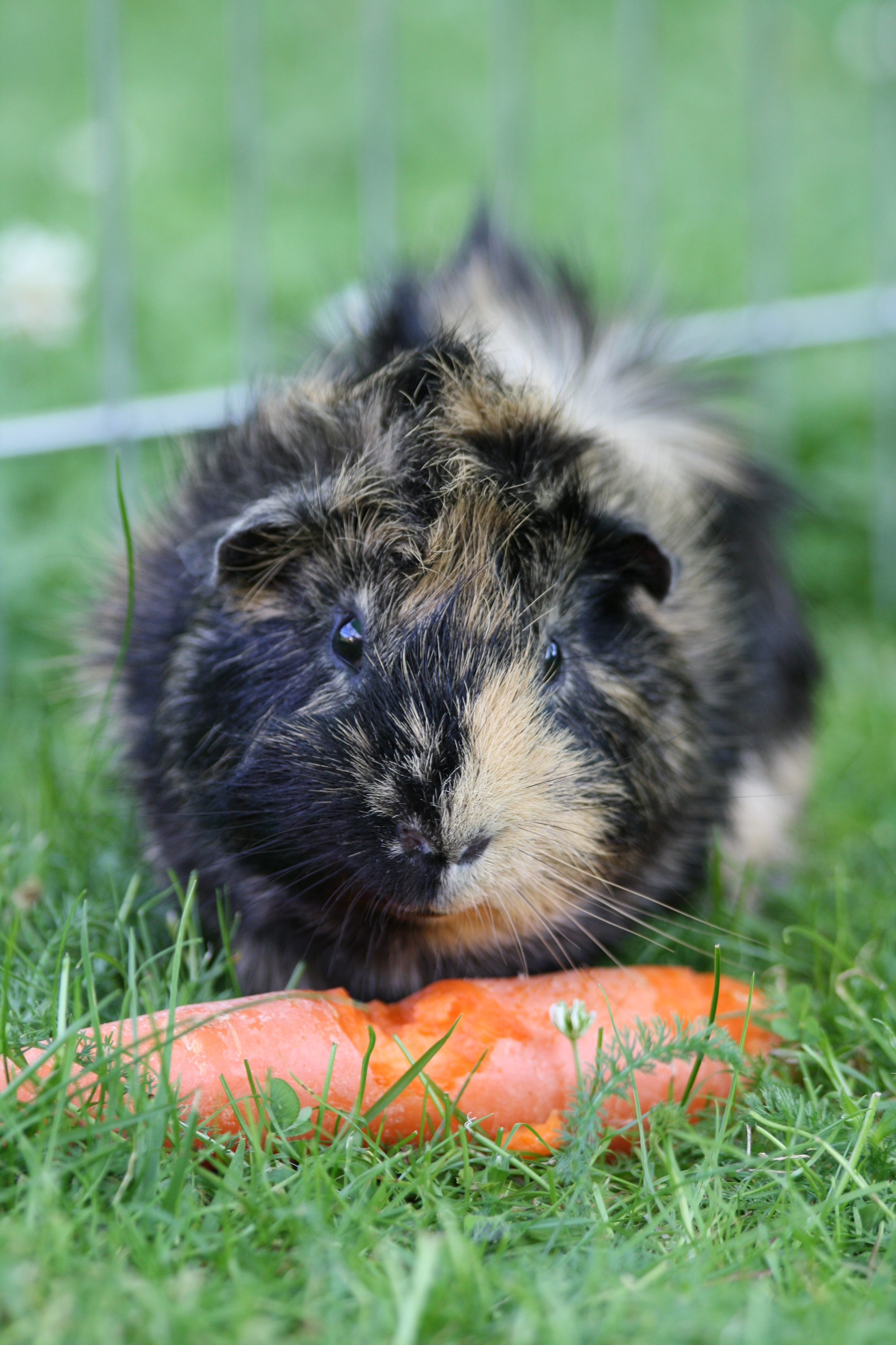 pictures of ginny pigs