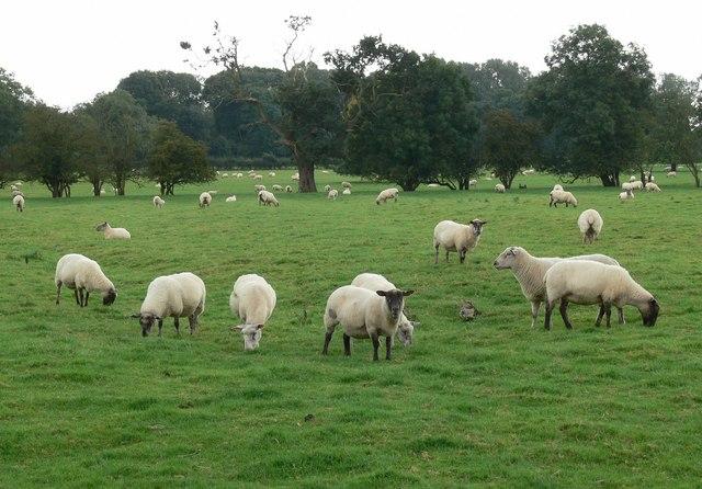A field of sheep near Stoke Golding - geograph.org.uk - 961849.jpg