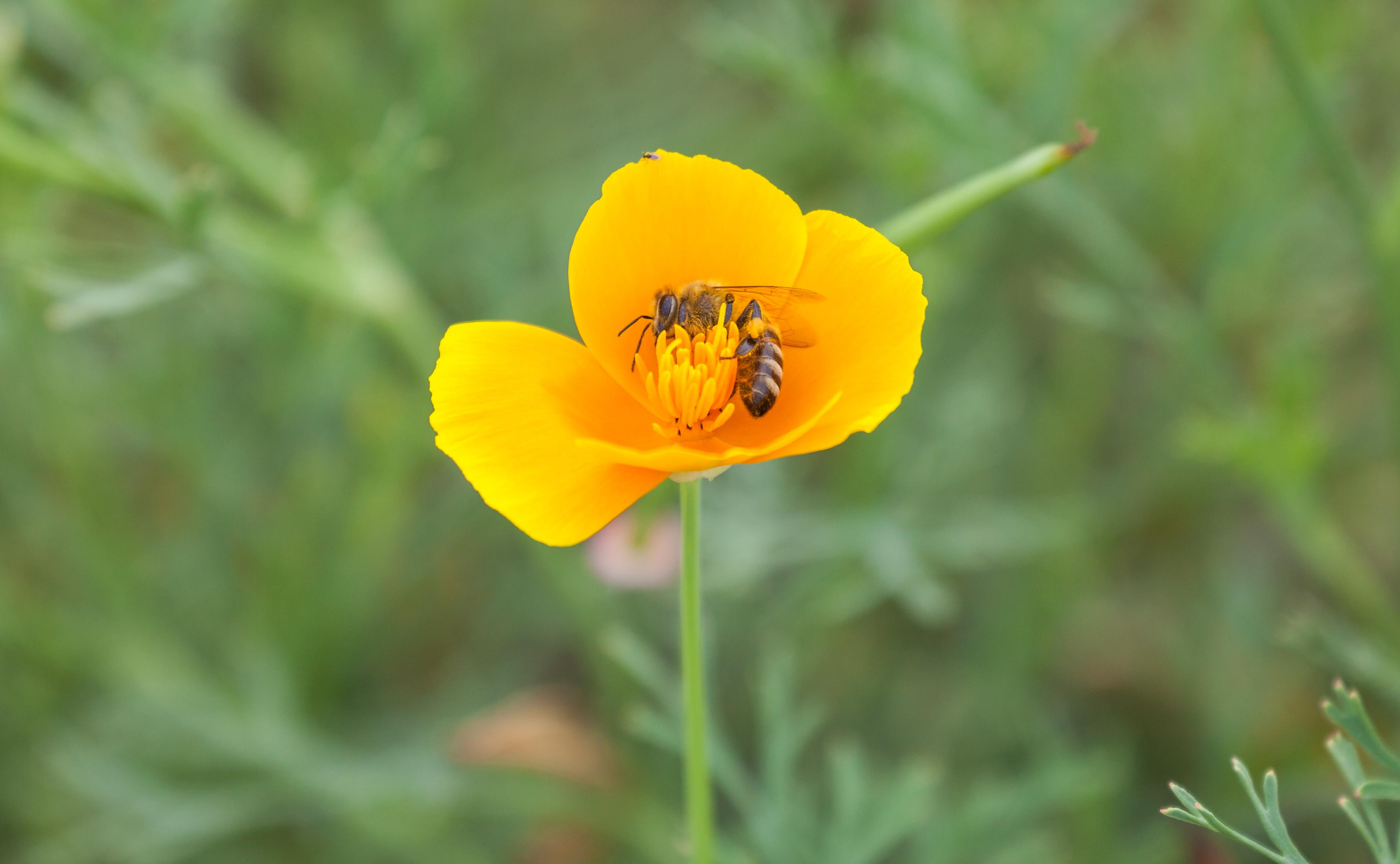 File abeja lasioglossum calceatum en una amapola de for Amapola jardin de infantes palermo