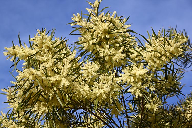 Depiction of Acacia floribunda