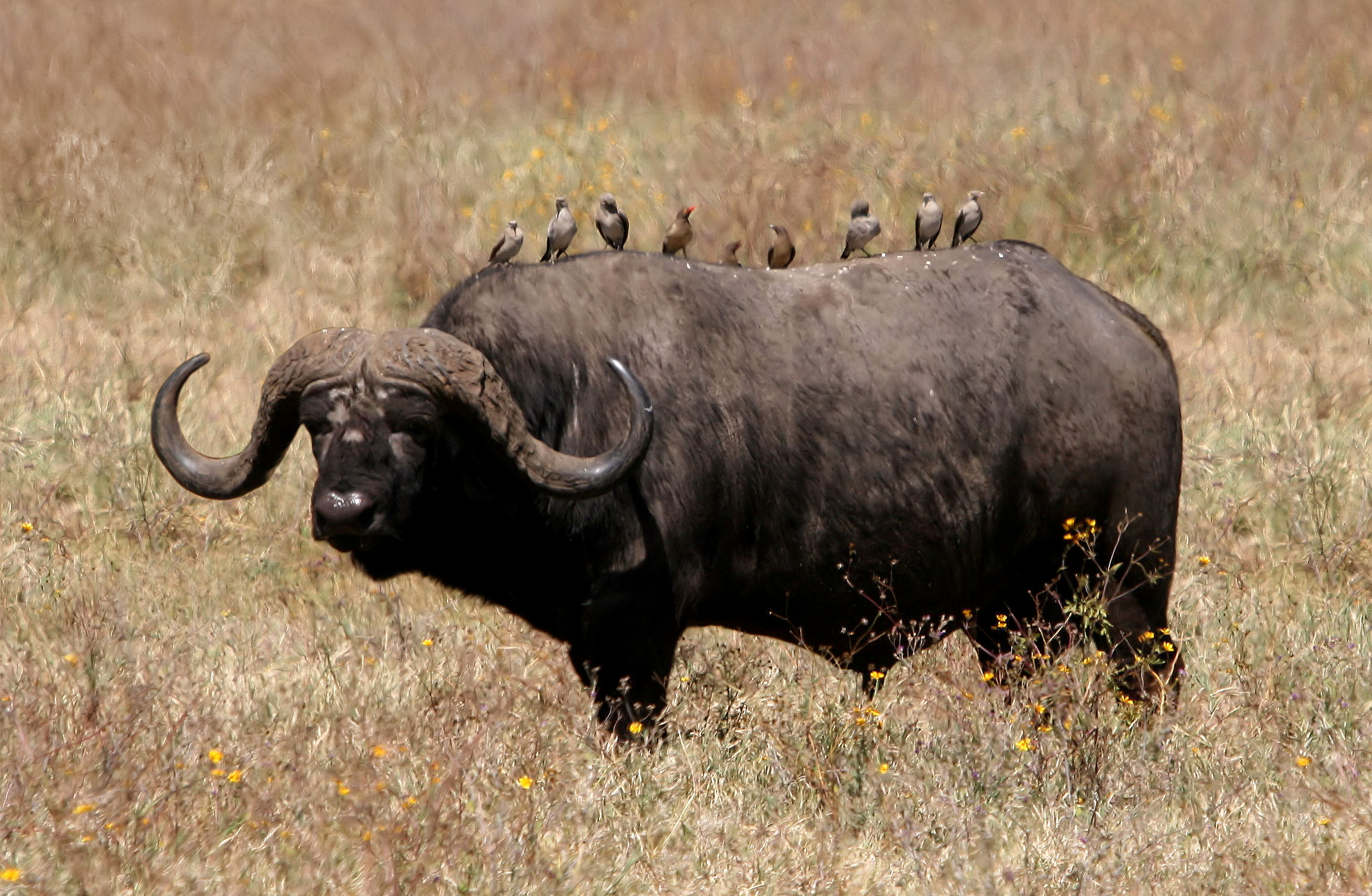 African Buffalo Pictures African Buffalo | High...