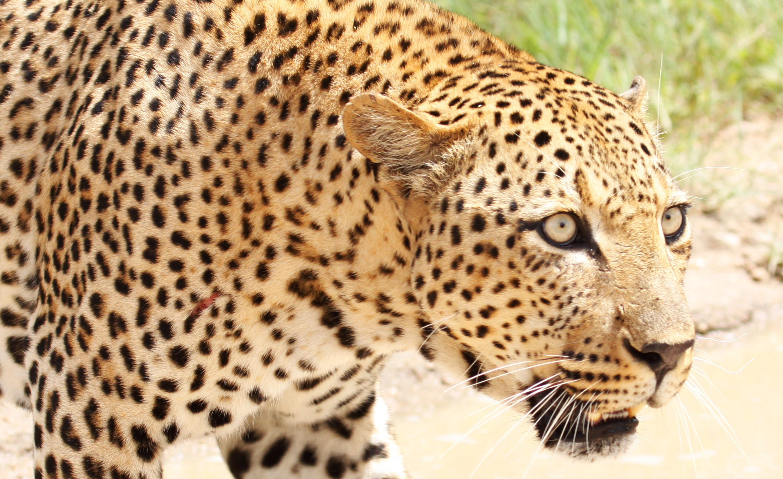 Image result for african leopard
