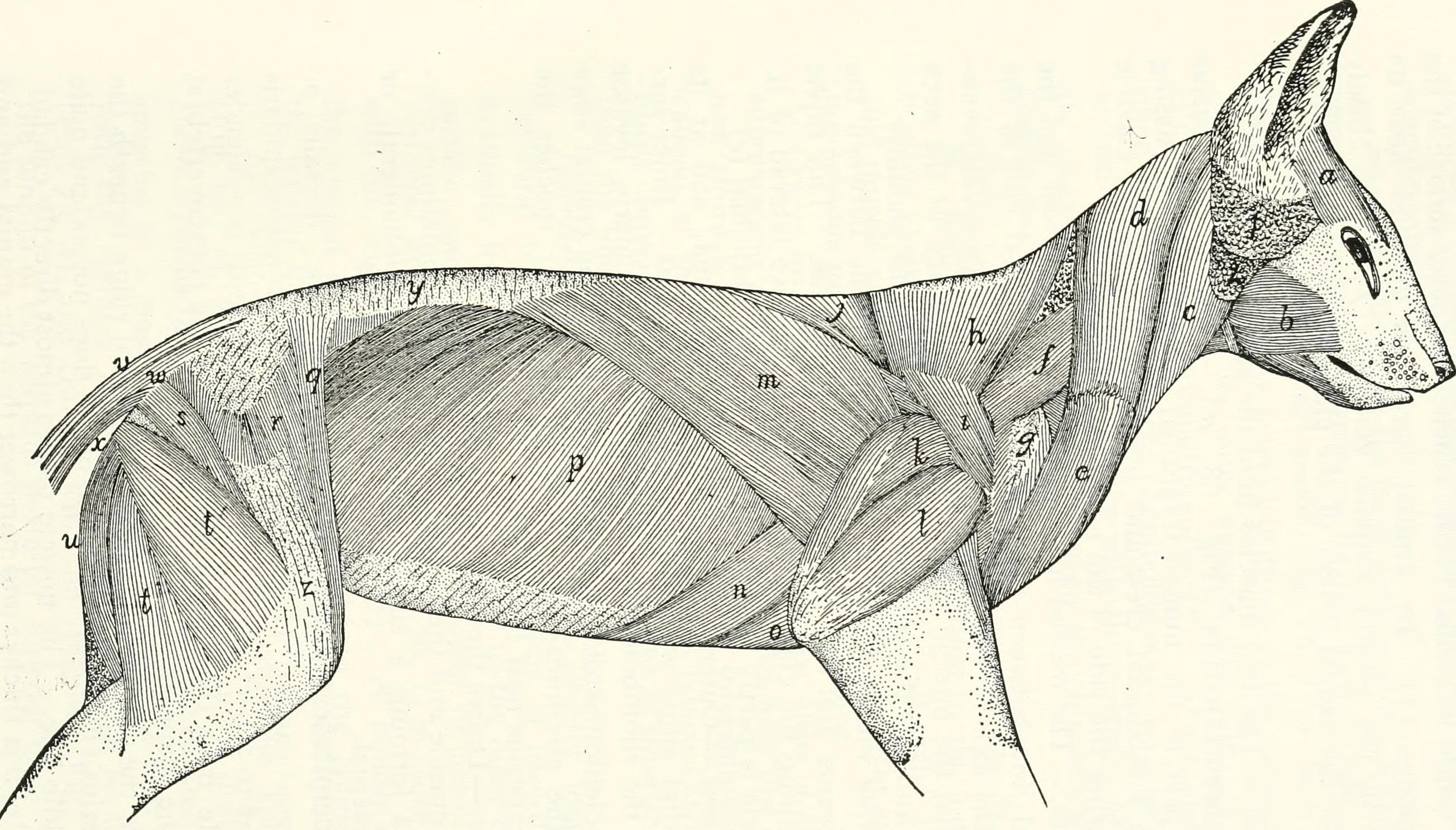File:Anatomy of the cat (1991) (18167568546).jpg - Wikimedia Commons