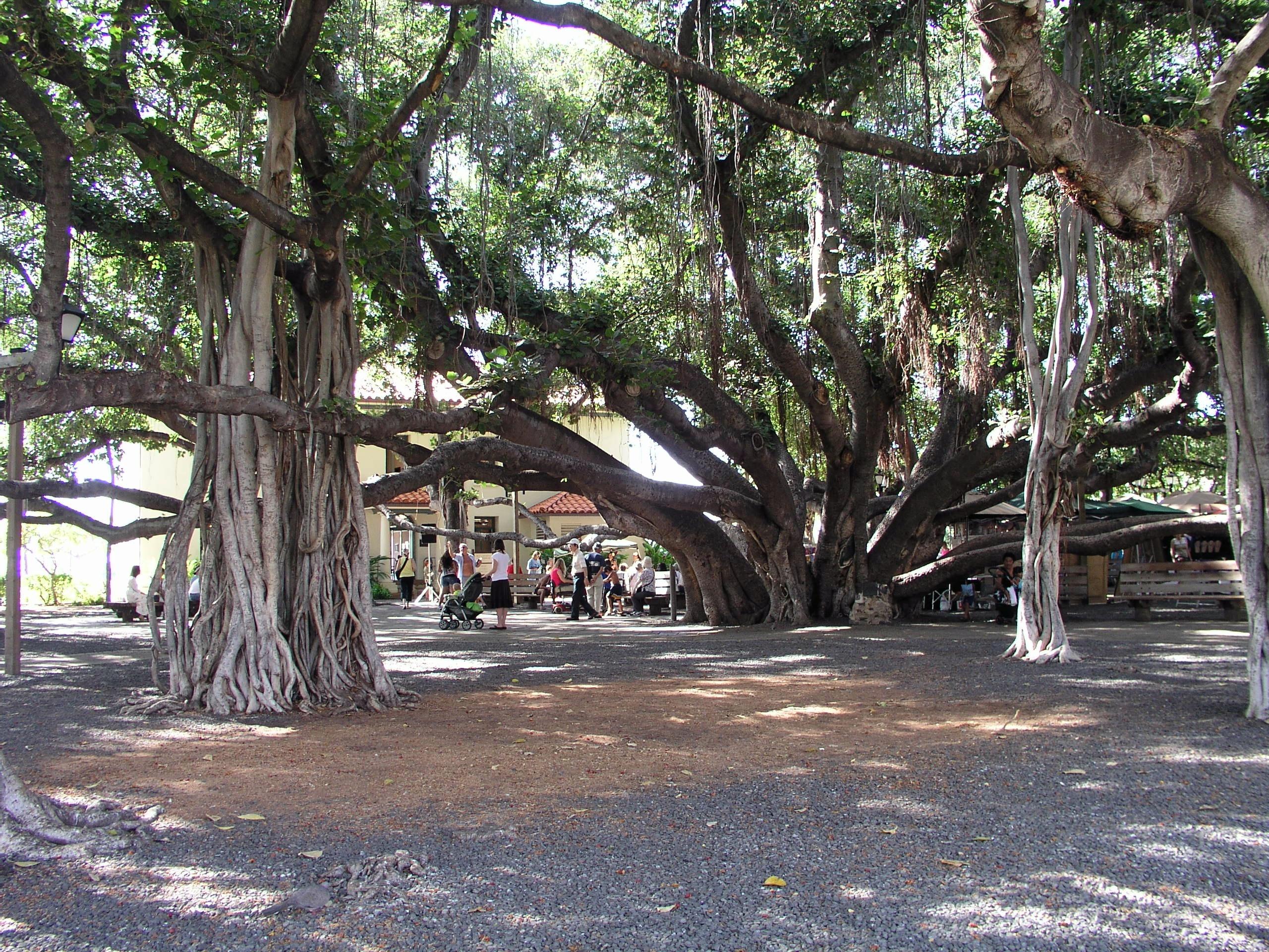 Banyan-tree-Lahaina-Hawaii.jpg English: A banyan tree (Ficus benghalensis ) in Banyan Tree Park - Lahaina, Hawaii. Русский: Баньян (разновидность