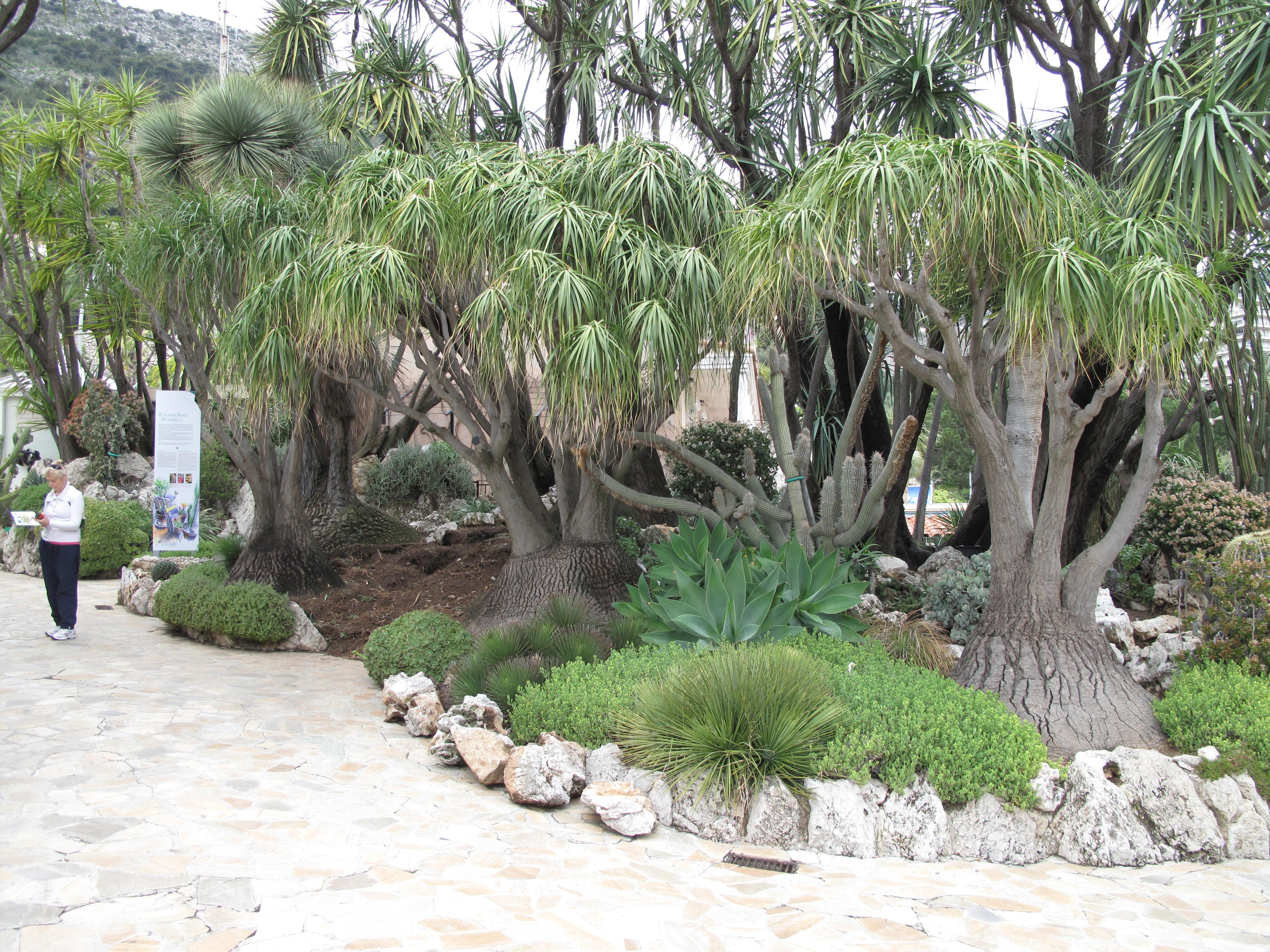 File beaucarnea recurvata jpg wikimedia commons for Beaucarnea recurvata