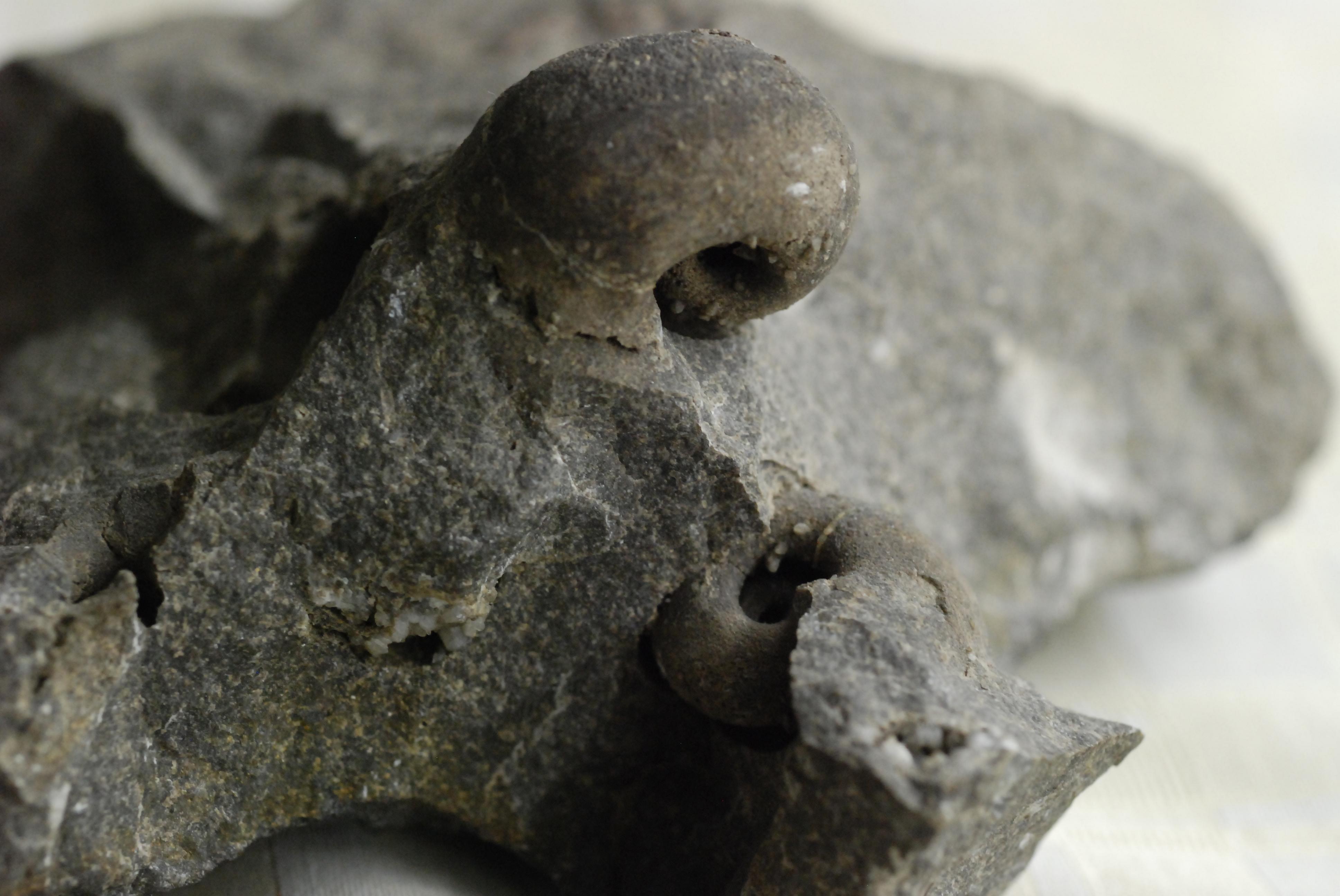 bellerophon fossil wikiwand. Black Bedroom Furniture Sets. Home Design Ideas