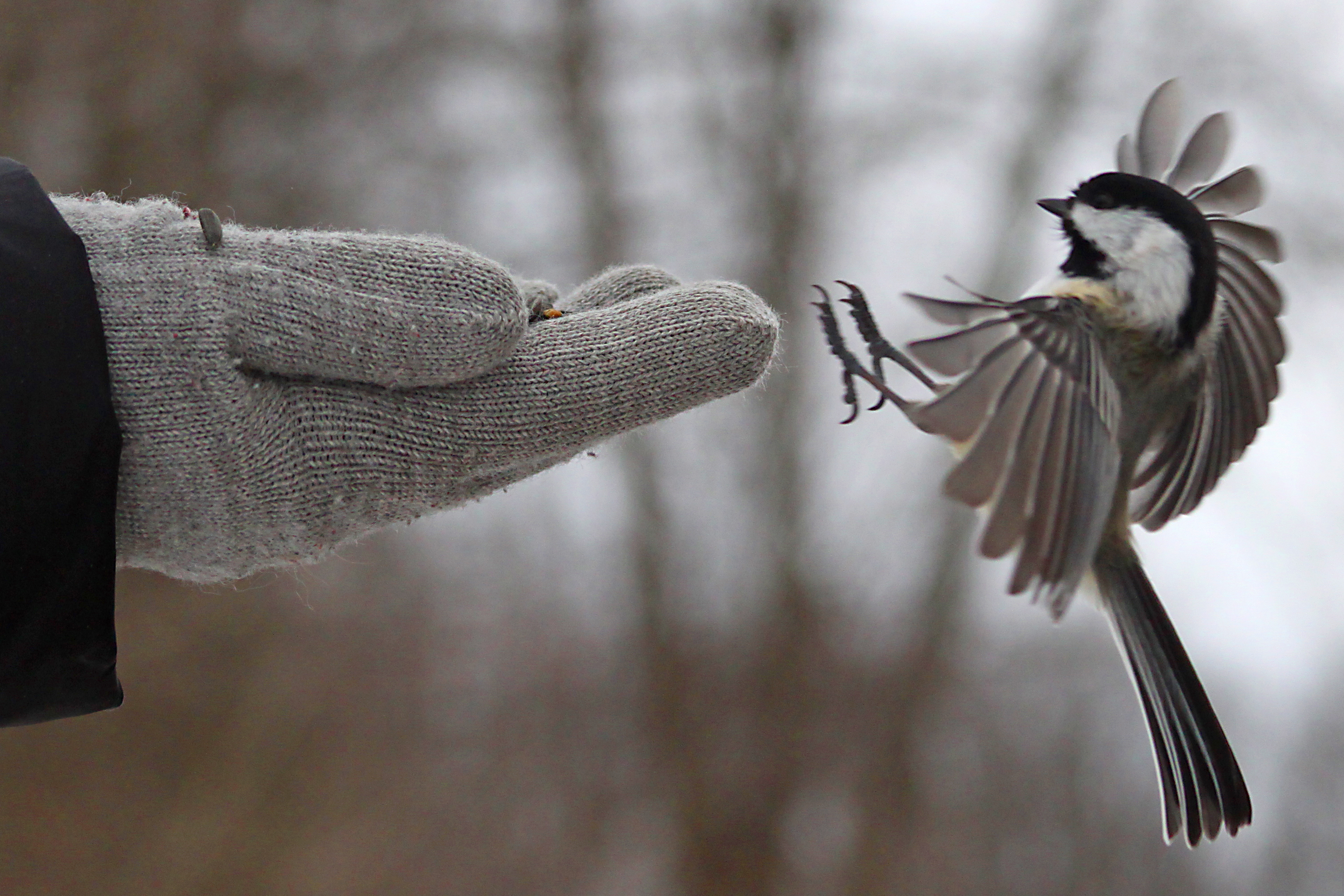 Chickadee landing - photo#1
