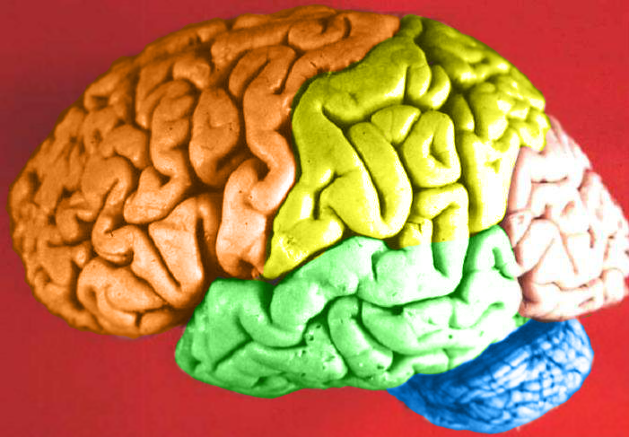 File:Brain - Lobes.png