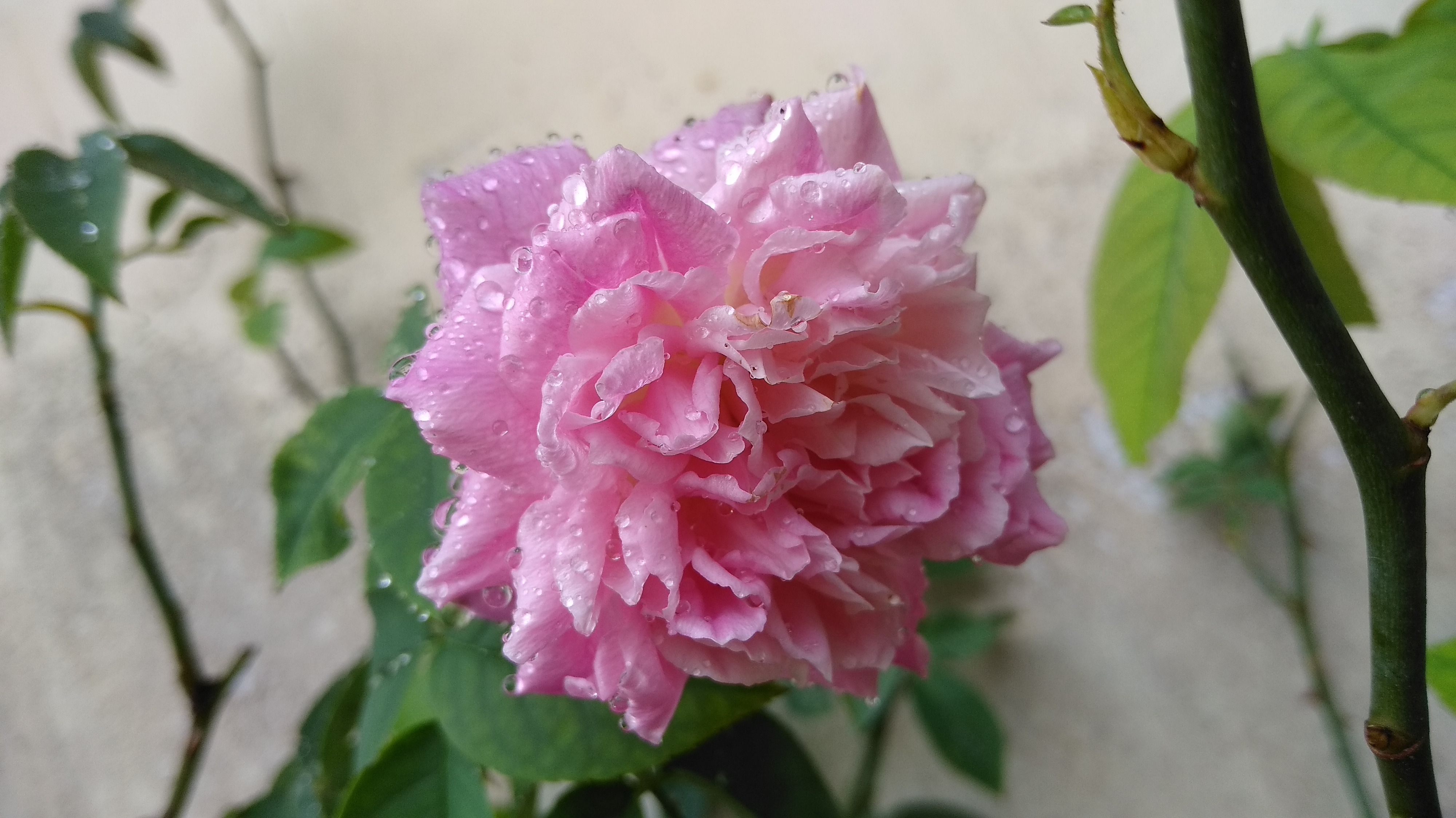 File Bunga Mawar Merah Jambu Muda Jpg Wikimedia Commons