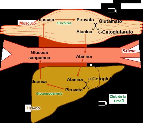ciclo propionato trembolona y winstrol