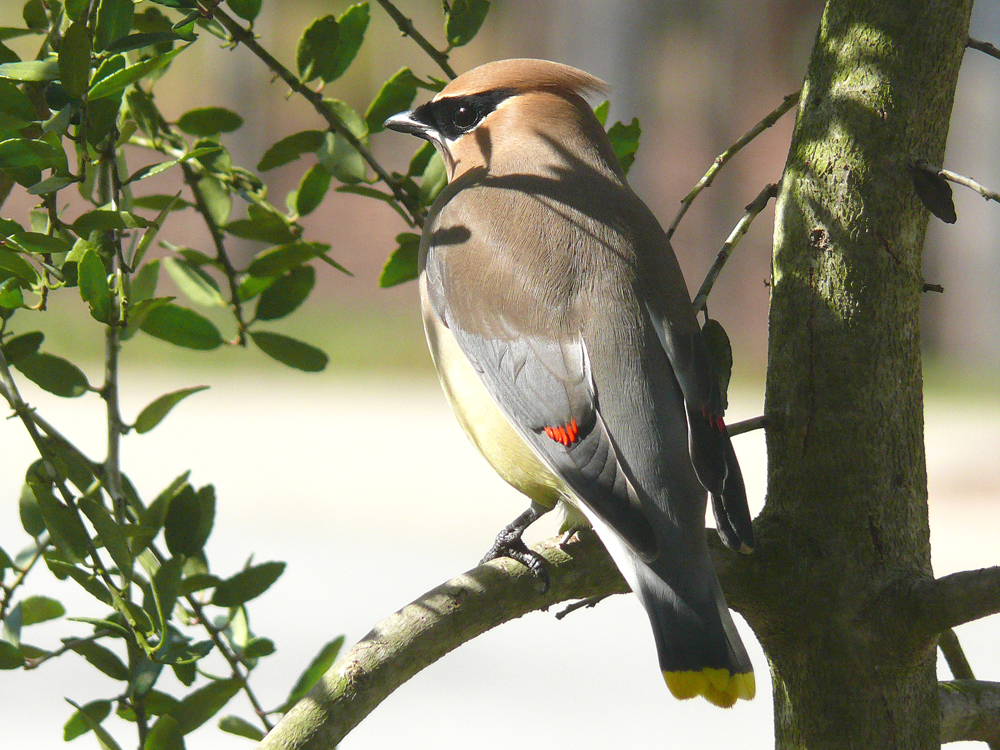 Cedar Waxwing (Public Domain Photo)